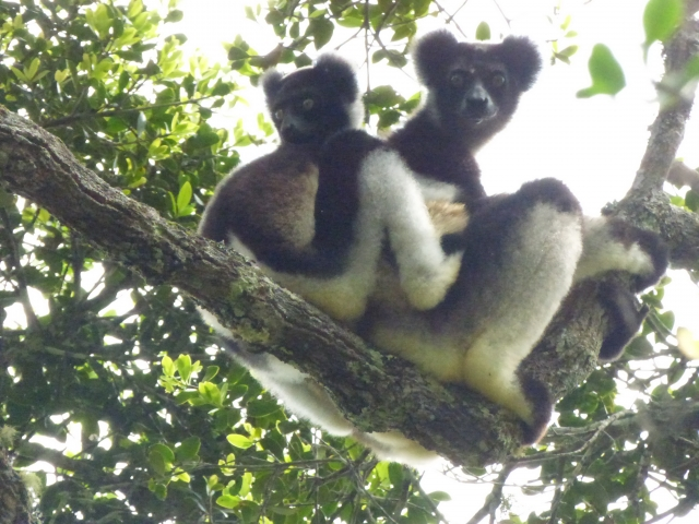 Saving the lemurs of Mangabe and their habitats: a youth-led initiative