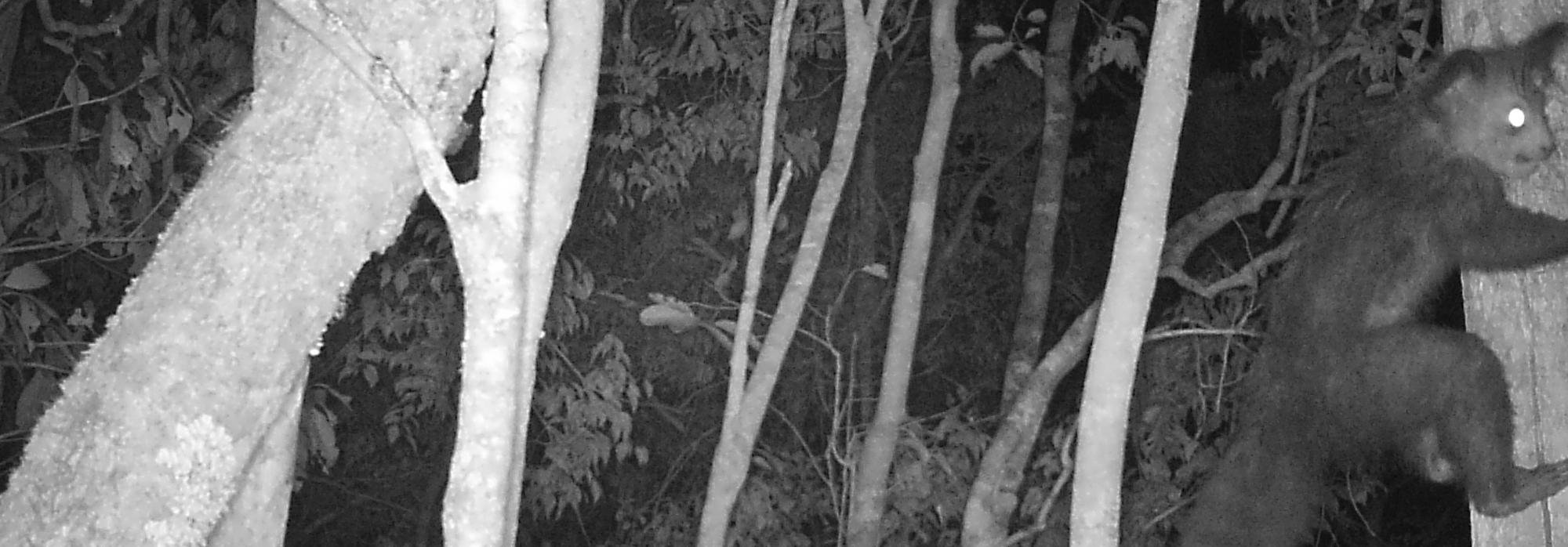 Aye-aye captured by Camera traps in the new Magabe protected area